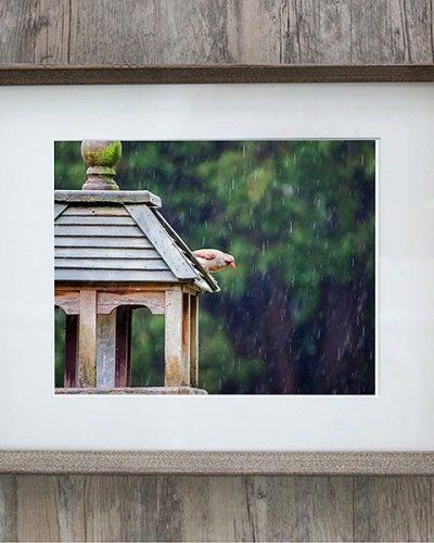female cardinal in the rain farmhouse grey wood frame