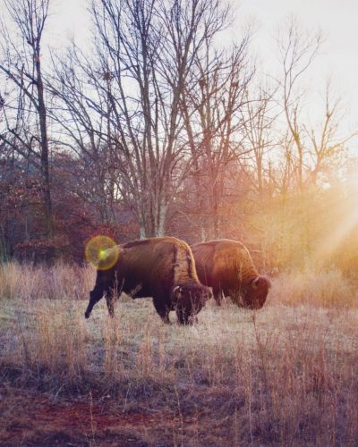 American bison grazing in a field in Kentucky
