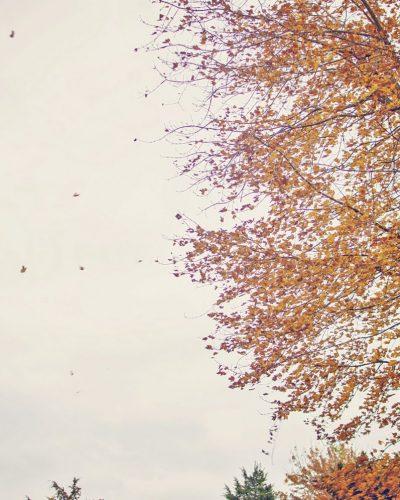 orange falling leaves blowing off tree
