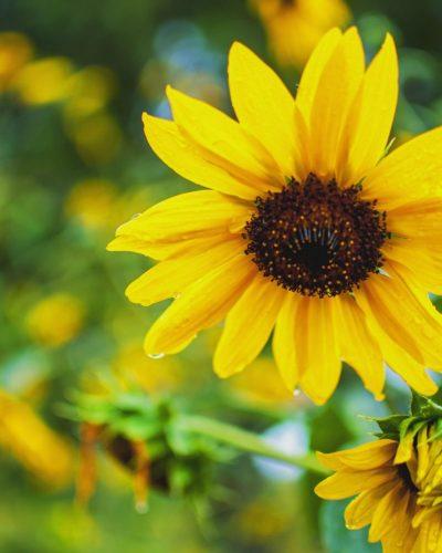 small sunflower close up photo