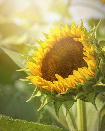 Big sunflower close up photo in ligt