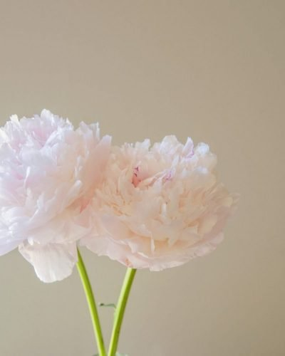 two blush pink peonies win window light