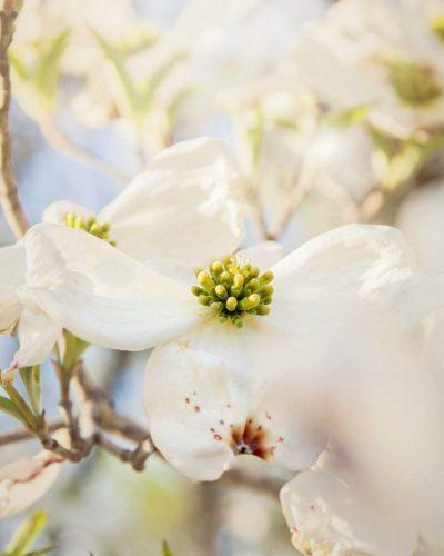 photo of Dogwood flowers against blue sky