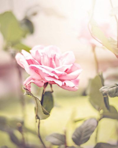 pink rose in a garden vertical print