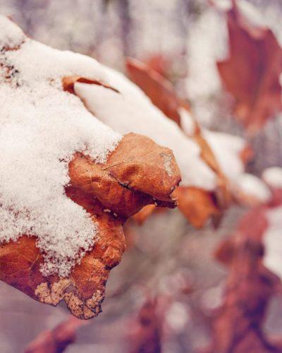 snow leaf photo orange and purple tones