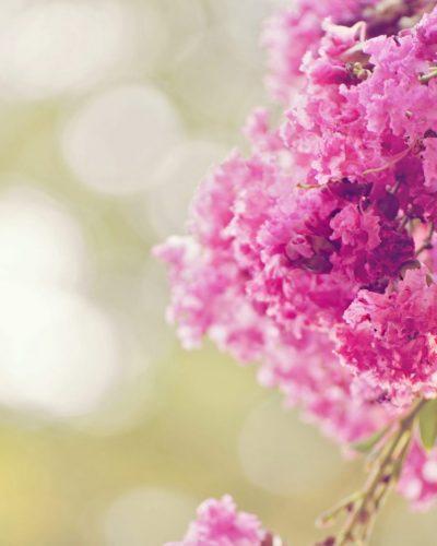 pink crepe myrtle flower close up