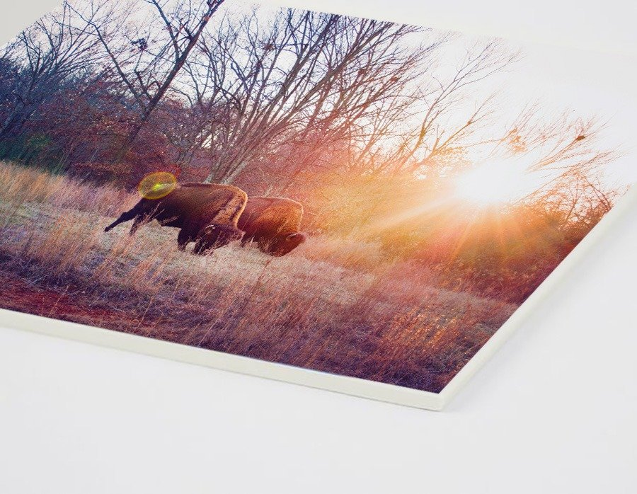 nature photography prints double matboard American bison grazing